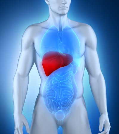 肝臓メジャーの図