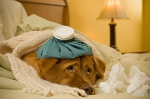 2148288 - sick as a dog concept - dog in bed with scarf and water bottle on its head.